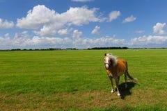 Pony auf einem Frysian-Gebiet Lizenzfreies Stockfoto
