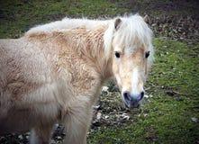 Pony auf Weide Lizenzfreie Stockfotografie