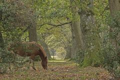 The New Forest in Autumn. A pony on an autumn morning in the New Forest, Hampshire UK Stock Photo