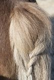 Pony-tail. Pony back side - blonde plait pony braid of Islandic horse stock photo