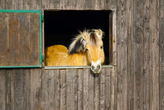 Pony in the barn Royalty Free Stock Photo