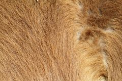 Pony beige fur Royalty Free Stock Photos