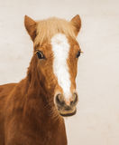 pony with a big white blaze on his head on a beige background Royalty Free Stock Photography