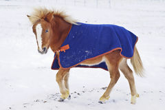 Pony with a big white blaze on his head wearing a blue blanket standing on the snow in a field Royalty Free Stock Image