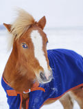 pony with a big white blaze on his head wearing a blue blanket standing in the snow in a field Stock Images