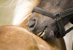 Pony bitting Stock Image