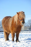 Pony. Blond chestnut colored shetland pony with long mane in winter Stock Image