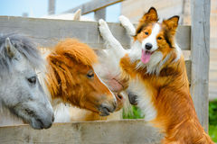 Pony and Border Collie dog, dating. Pony and Border Collie dog are dating Royalty Free Stock Image