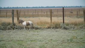 Pony breed horse in the pasture