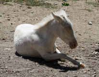 Pony breeding. Small pony breeding, nearly newborn Royalty Free Stock Photos