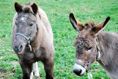 Pony and Burro. Friendly pony and Burro in a grassy field Stock Photos