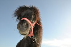 Pony with chain. Little pony profile portrait with chain Royalty Free Stock Photography
