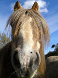 Pony. Chestnut pony looking straight at the camera Royalty Free Stock Image