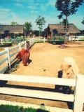 Pony in Chiang Mai stockbilder