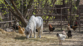 Pony and chicken on the farm Stock Photos