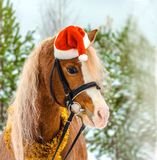 Pony in a Christmas red cap in the snow in the woods royalty free stock photography