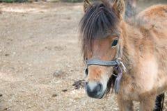 Pony Stock Photography