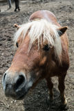 Pony closeup Royalty Free Stock Photography