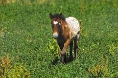 Pony colt. A lonely pony colt on a pasture Stock Photography
