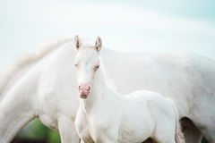 Pony cream foal  with mom Stock Photography