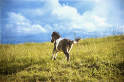 Pony cub running in a summer field Royalty Free Stock Image