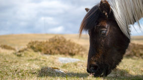 Pony on Dartmoor, England Royalty Free Stock Photos