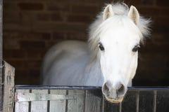 Pony, das über beständiger Tür schaut Lizenzfreies Stockfoto