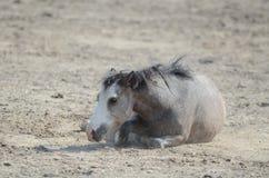 Pony, das draußen in der Weide spielt Stockbild