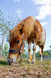 Pony, das Gras isst Lizenzfreie Stockbilder