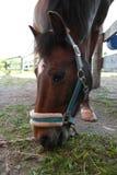 Pony, das Gras isst Stockbilder