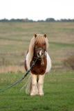 Pony in der Landseite lizenzfreies stockfoto