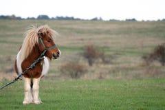 Pony in der Landseite stockfoto