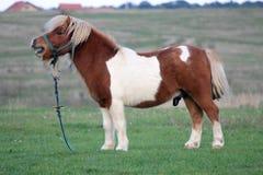 Pony in der Landseite lizenzfreies stockbild