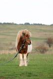 Pony in der Landseite stockbild
