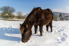 Pony digging in the snow for food. A wile pony digs around in deep snow looking for food stock image