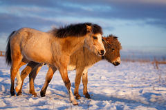 Pony and donkey Royalty Free Stock Photography