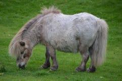 Pony Eat Grass blanca Foto de archivo libre de regalías