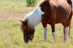 Pony eating grass Royalty Free Stock Images