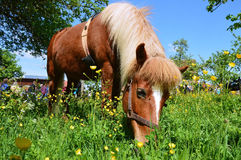 Pony eating grass royalty free stock image