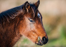 Pony eating grass in a field Stock Images