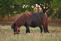 Pony Royalty Free Stock Photos