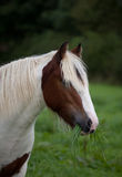 Pony eating grass. Portrait of a pony eating grass stock image