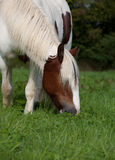 Pony eating grass. Portrait of a pony eating grass royalty free stock photos