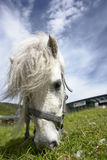 Pony eating green grass. In Austrian Alps at summertime Royalty Free Stock Image