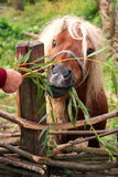 Pony eating green leaves Royalty Free Stock Images