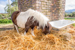 Pony eating hay in the camp Royalty Free Stock Photography