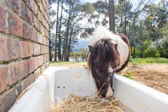 Pony Eating Hay Royalty Free Stock Photo