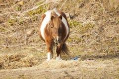 Pony eating hay. Sad Pony eating hay in the barn Royalty Free Stock Photo