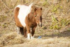 Pony eating hay. Sad Pony eating hay in the barn Royalty Free Stock Photos