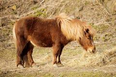 Pony eating hay. Sad Pony eating hay in the barn Royalty Free Stock Image